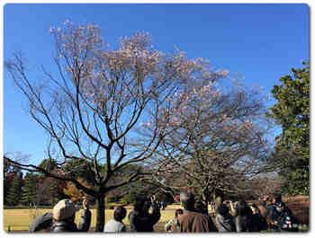 本丸大芝生の桜1.JPG