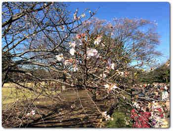 本丸大芝生の桜.JPG